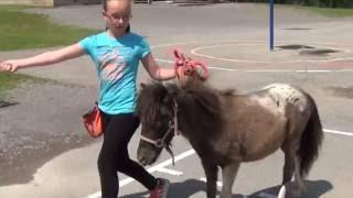 Les chevaux miniatures en visite à une école de Trois-Rivières