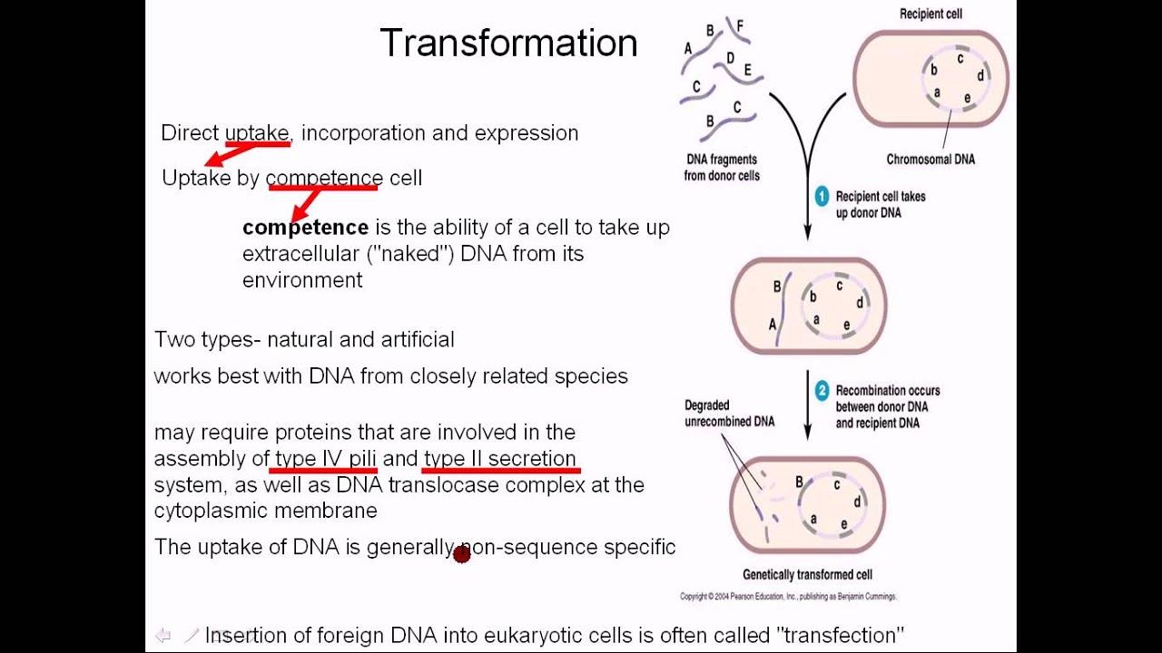Bacterial genetic recombination