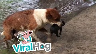 Mother Dog Carries Wet Puppies to Safety    ViralHog