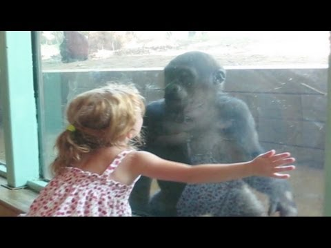 Little Girl and Baby Gorilla Become Friends