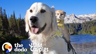 Service Dog Wasn't Playful — Until He Met His Kitten Sister   The Dodo Odd Couples
