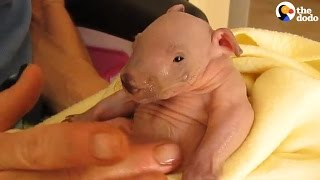 Tiniest Little Wombat Is All Grown Up Now