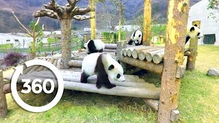 Panda Playtime (360 Video)