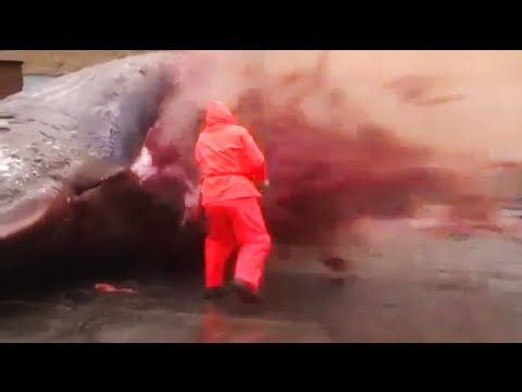 Sperm Whale Explosion: Dead Cetacean Explodes After Being Cut Open In Faroe Islands - Smashpipe News