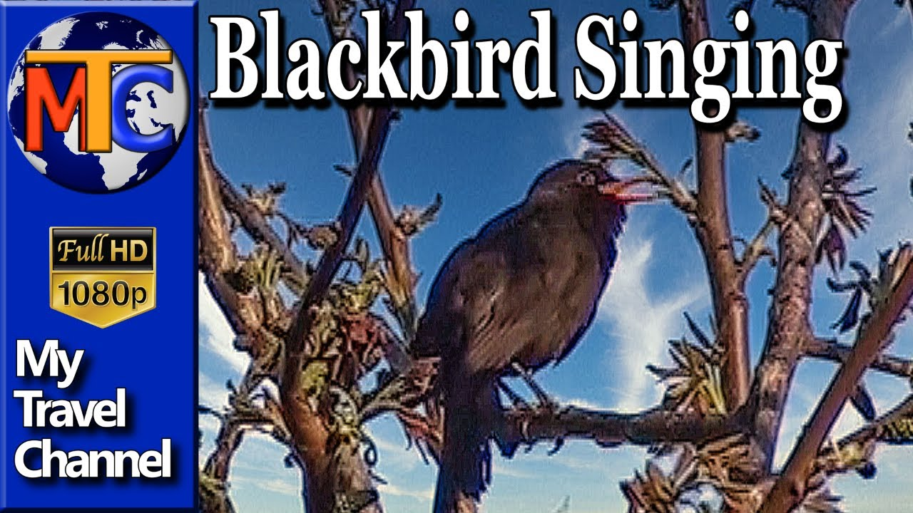 Cantec de mierla ( blackbird singing ) - YouTube
