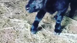 Cute dwarf cow