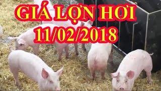 Giá lợn hơi hôm nay   Giá Lợn hơi ngày 11/2/2018   Tin Tức 24h