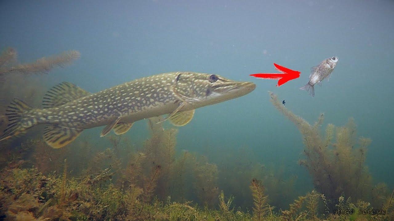 Щука — подводные съемки