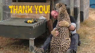 African Cheetah Thanks Man For Building Stair Steps To Help His Limbs | Big Cat Breeding Project