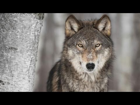 Gray wolves, eradicated from California and the Western U.S. returned to the Golden State.
