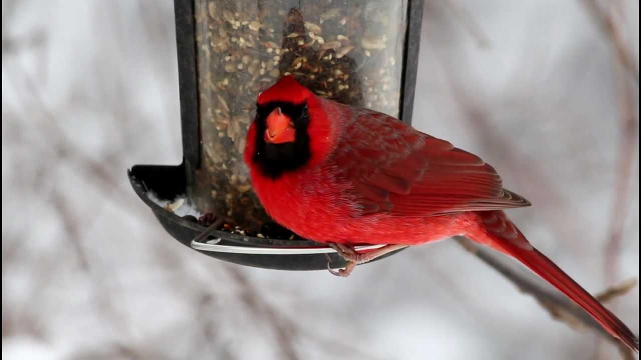 Cardinal At Bird Feeder Youtube