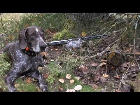 Помощь охотничьих собак на охоте на рябчика.