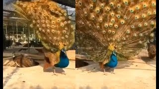Peacock unfurls his feathers to impress peahen, watch vira..