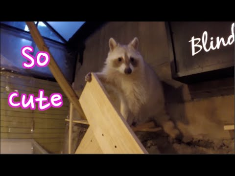 Racoon Cafe in Seoul: Cuteness Overload at The Blind Alley