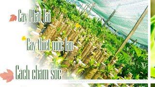 cây phát tài - cách chăm sóc cây phát tài - cây thiết mộc lan - Dracaena Frangrans