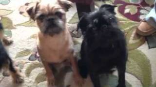 Brussels Griffon boys don't want to take bath