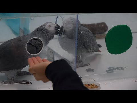 African Gray Parrots show kindness to Others