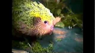 (VIDEO K4QFZfyEUZ4) Kakapo