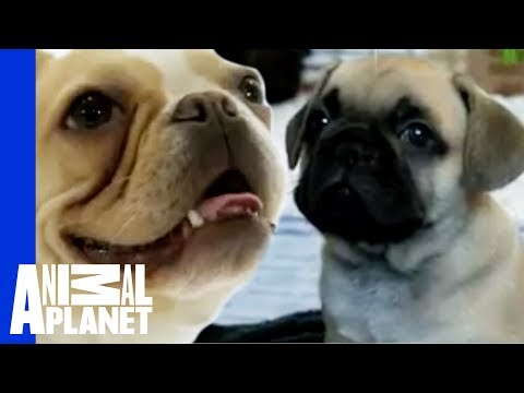 bulldog utube french bulldog dogs 101 youtube 9115