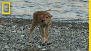 BORBA NA ŽIVOT I SMRT: Pogledajte kako je mladunče bizona pobjedilo gladnog vuka! (VIDEO)