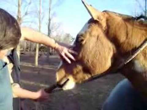 Anestezija infraorbitalnog nerva konja