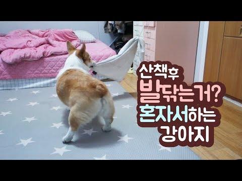 산책끝나고 혼자서 발닦는 강아지! 주인도움 필요없다개🐶ㅣ천재견ㅣ웰시코기ㅣ아리ㅣ강아지유튜버