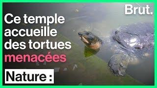 Ces tortues éteintes survivent dans des temples en Inde