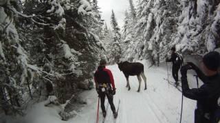 Rencontre avec un orignal en ski de fond