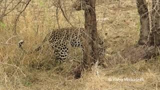 Leopard killing Jackal pup