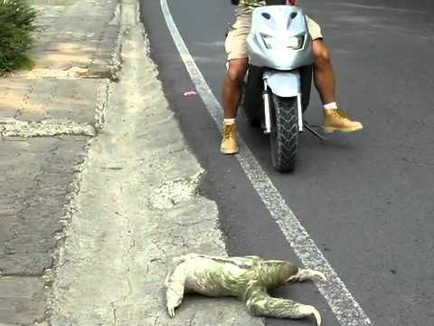 Sloth Crossing Street