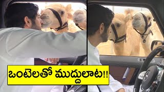 Viral Video : Hilarious moments of Dubai camels with crown..