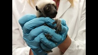 Baby Lemur Born During Winter Storm video