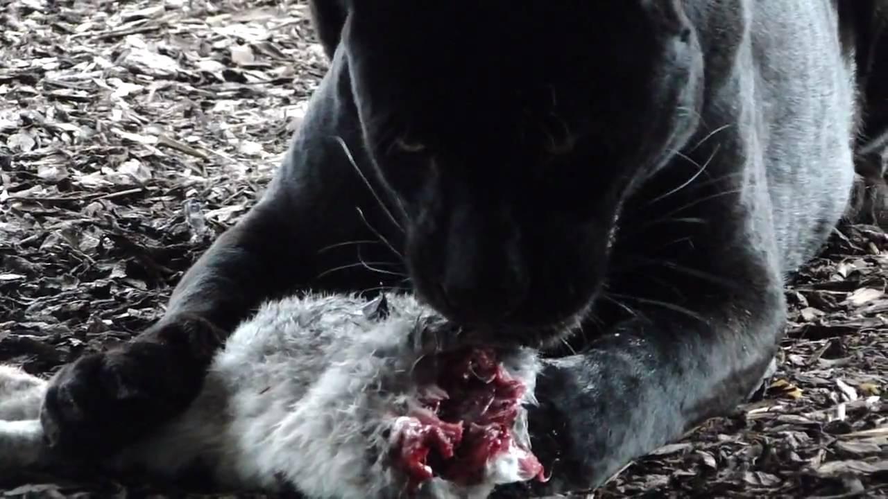 Black Panther f...