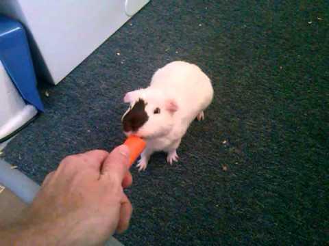guinea pig tricks play dead