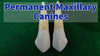 Permanent Maxillary Canine