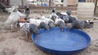 mix pigeons kabootar - pigeons Breeder