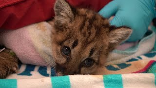 Raw Video: Rescued Mountain Lion Cubs At Oakland Zoo