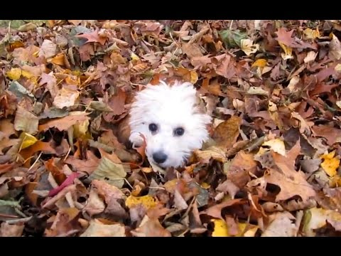 Puppies Playing in Leaves Compilation