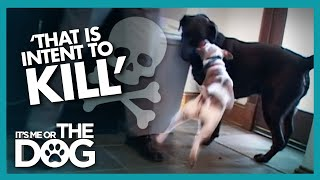 Newly Adopted Labrador is Attacked Every Day | It's Me or the Dog