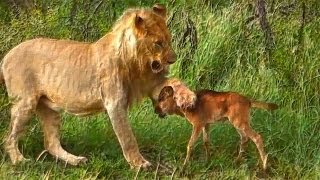 Lion saves a baby calf from another lion attack