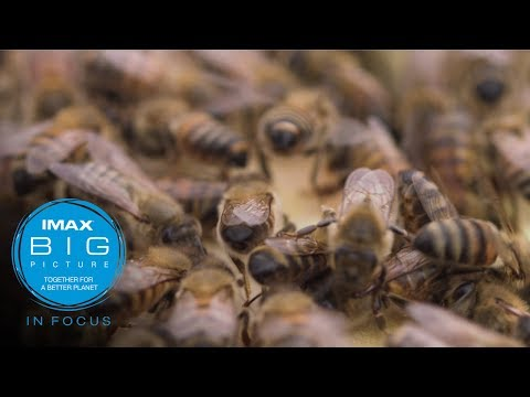 IMAX In Focus: Bee Conscious Documentary (short)