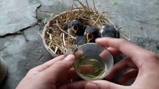 Hướng dẫn nuôi chim chích choè than non đơn giản - hiệu quả.
