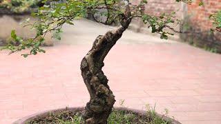 Kỹ thuật uốn cây Tường Vi ( #LNLV ) | Lão Nông Làm Vườn