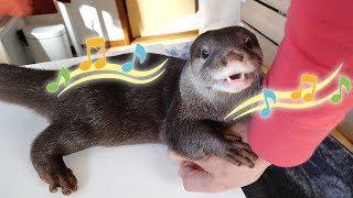 【カワウソの鳴き声】パパ「ビンゴの鳴き声に癒されるわ〜」Otter Bingo squeaks can heal my heart
