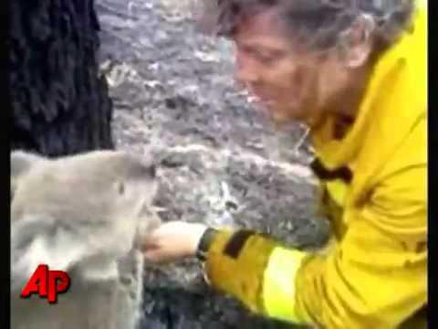 KOALA salvato da un popiere durante un incendio in Australia