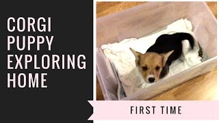 Week 1: Corgi Puppy Exploring Home | First Treat