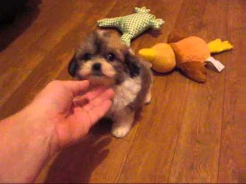 teddy bear puppies for sale in michigan shichon zuchon teddy bear puppies in michigan and illinois 910