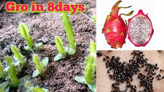 Grow in 8 Days Dragon fruit from seed  by motivation life