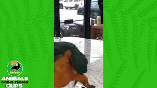 Funny Macaw on a Table | Animals Doing Things Clips