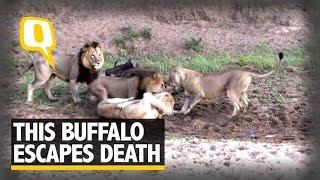 Watch : This Buffalo Escapes Death From The Jaws Of Lions ..